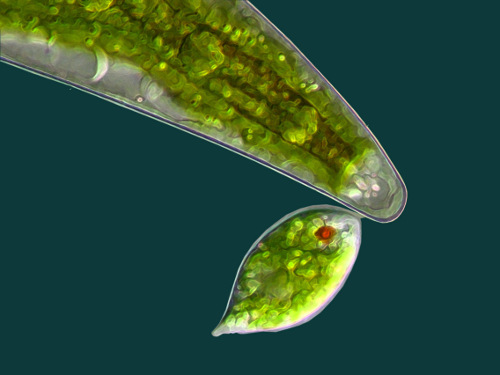 Euglena-k-sst-Closterium_gross